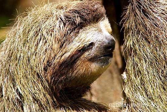 three-toed sloth face