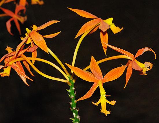 Orange Orchid flowers photo taken in  Panama