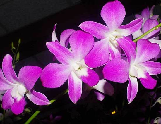 Pink Orchids