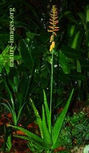 Aloe vera with flower