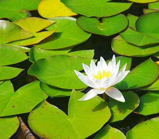 Aquatic plant with white flower