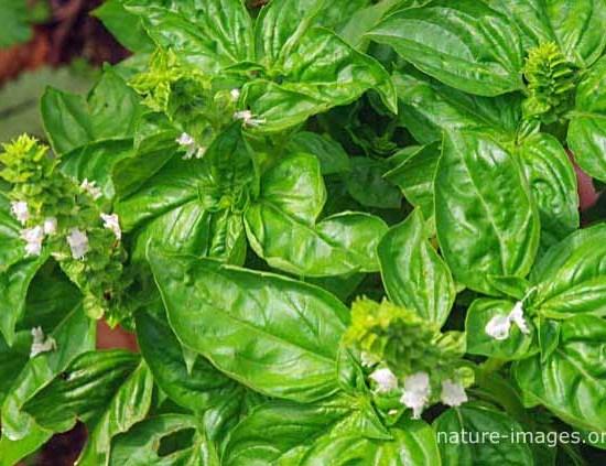 Basil Garden Herb Photo