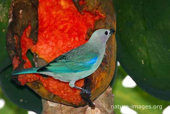 Blue Grey Tanager Eating Papaya