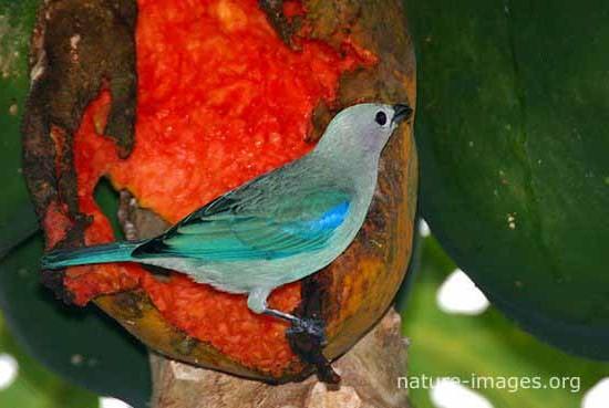 Blue Grey Tanager Eating Papaya
