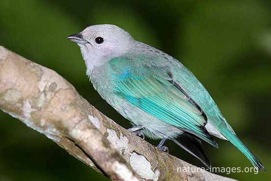Baby Blue Grey Tanager
