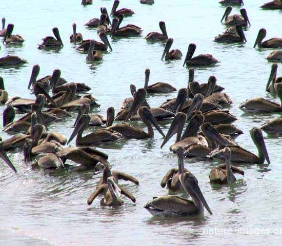 Many Brown pelicans
