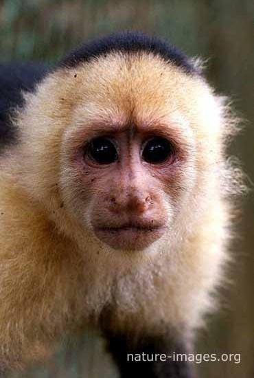 Capuchin monkey face