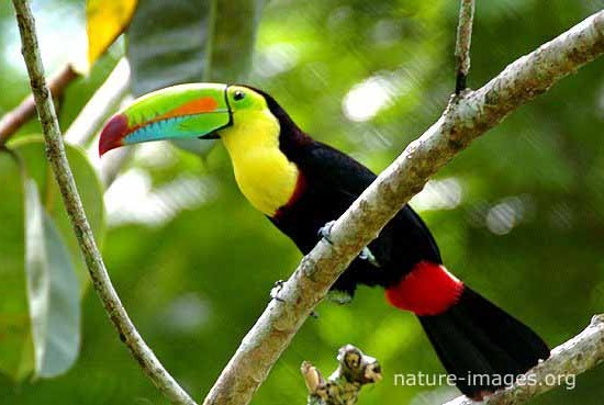 Rainbow-billed toucan photo