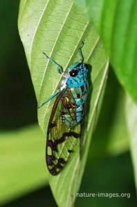 Cicada - Image taken in Panama