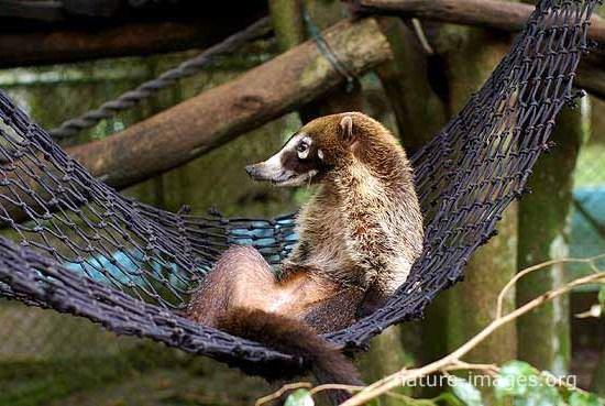Coati having a siesta