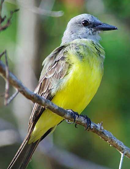 Coiba Flycatcher