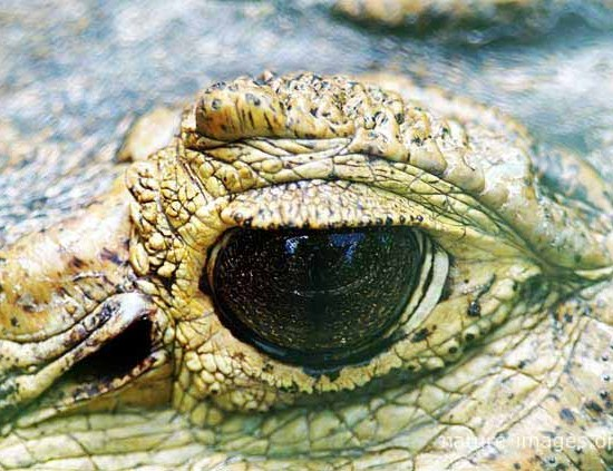 Crocodile Eye Closeup