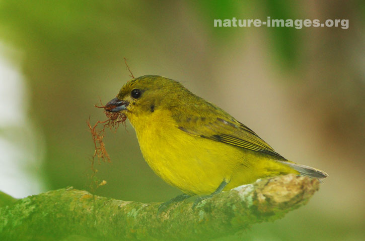 Thick-billed euphonia