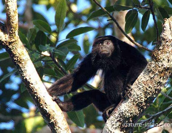 golden-mantled howling monkey