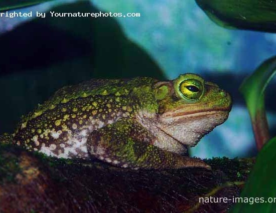 Big Green Climbing Toad