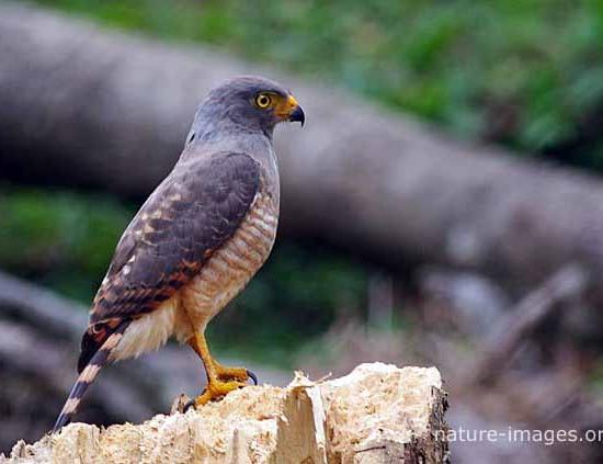 Grey Hawk Photo