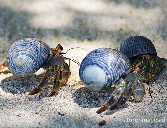 Hermit crab Coiba