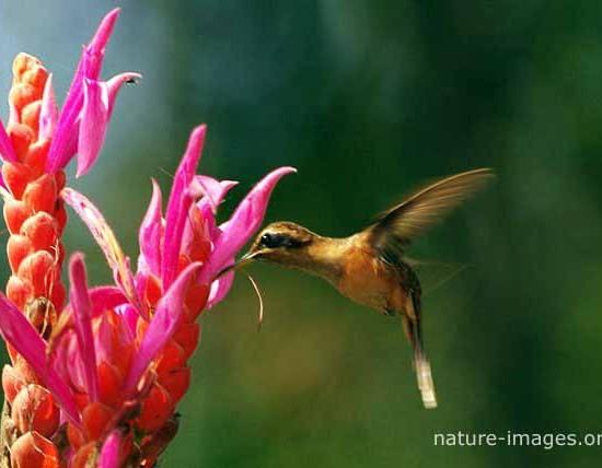 Hermit Hummingbird