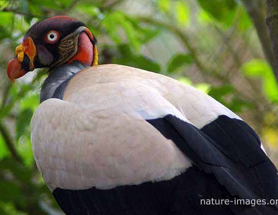King Vulture photo