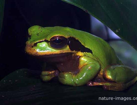 Masked-tree-frog