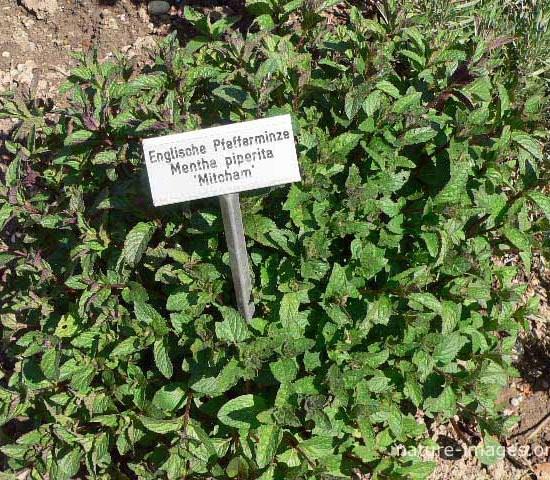 Mentha-piperita Garden Herb Photo