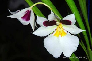 Miltoniopsis Roezlii Orchid