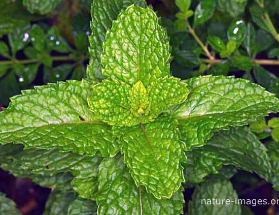 Mint leaves picture