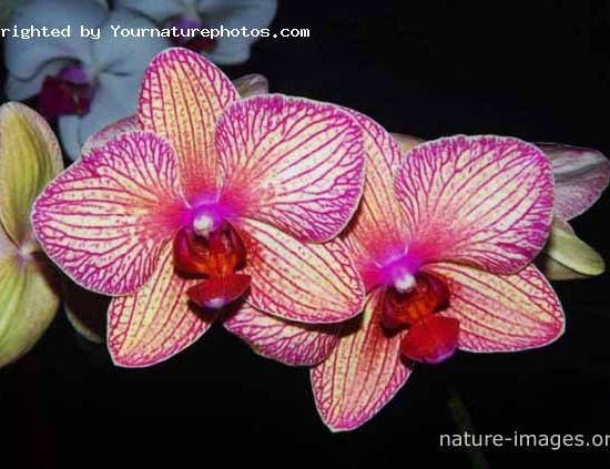 Bicolored  orchid flowers