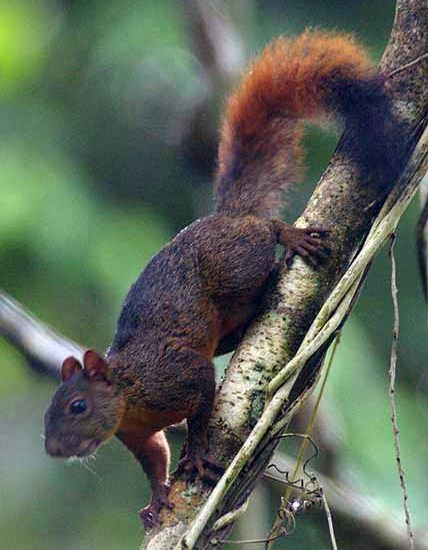 Red-tailed squirrel