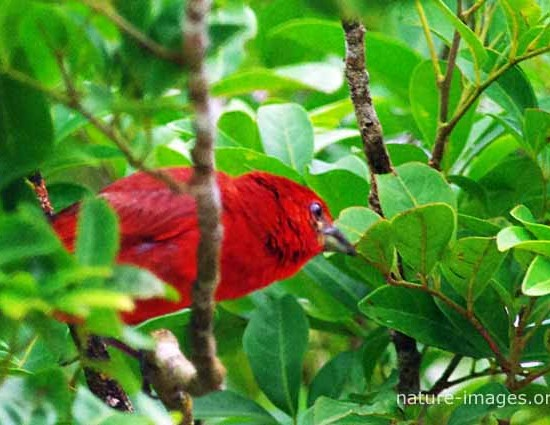 Red Tanager photo taken in Panama