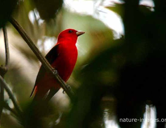 Scarlet Tanager Photo