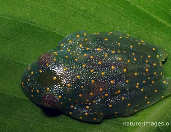 Snouted Glass Frog