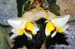 Stanhopea Pulla Orchid