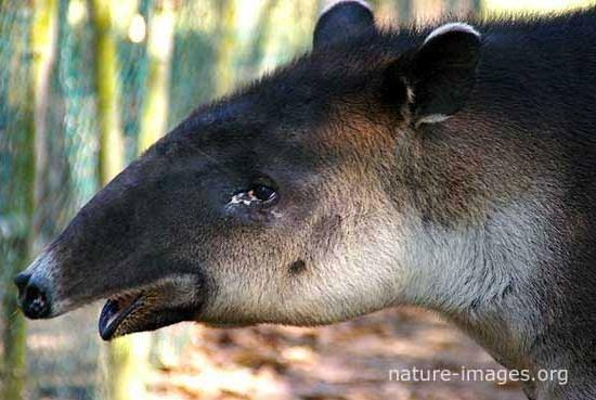 Baird's tapir face