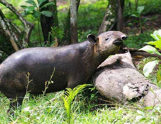 Baird's tapir rain forest