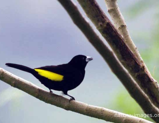 Yellow-rumped Tanager