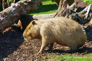The capybara is the largest rodent in the world