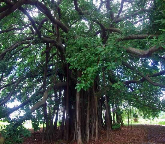 Ficus aurea