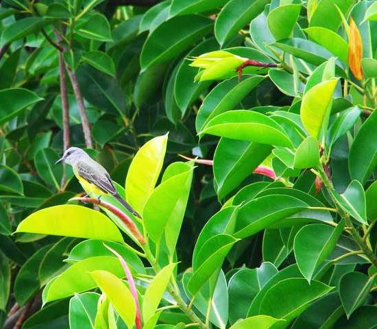 Ficus aurea tree leaves