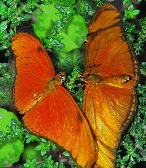Pair of Julia Butterfly Panama