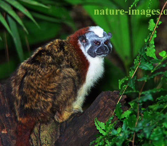 Geoffroy's tamarin Panama