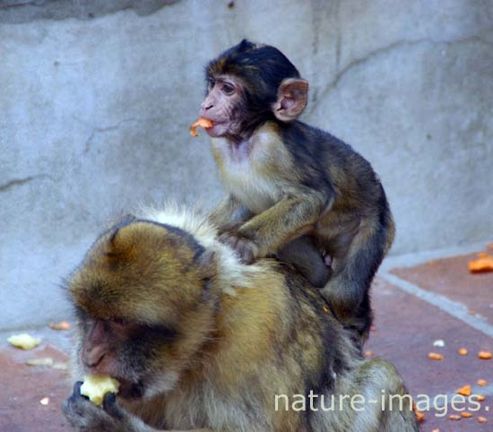 Barbary macaque with baby in Gibraltar
