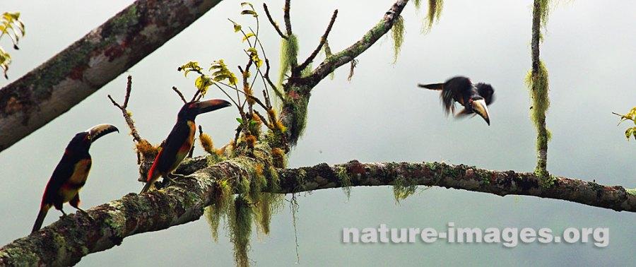 Collared Aracari in flight