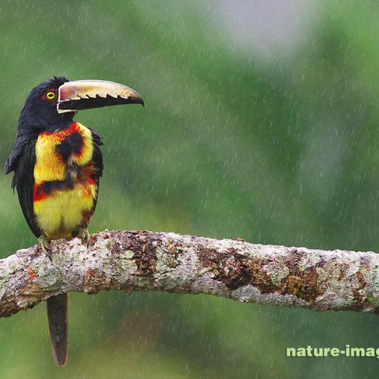 Collared aracari in the rain