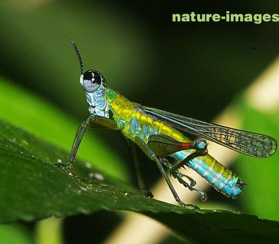 Colorfull Grahopper photo taken in Panama