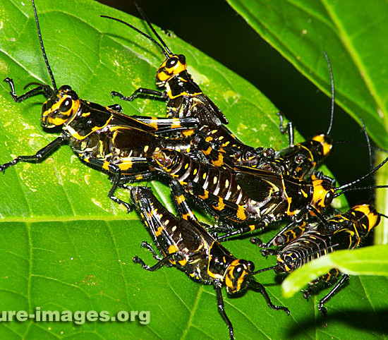 Zebra Grasshoppers photo taken in Panama
