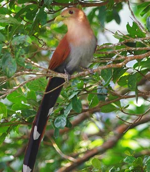 Squirrel cuckoo Altos del Maria Panama