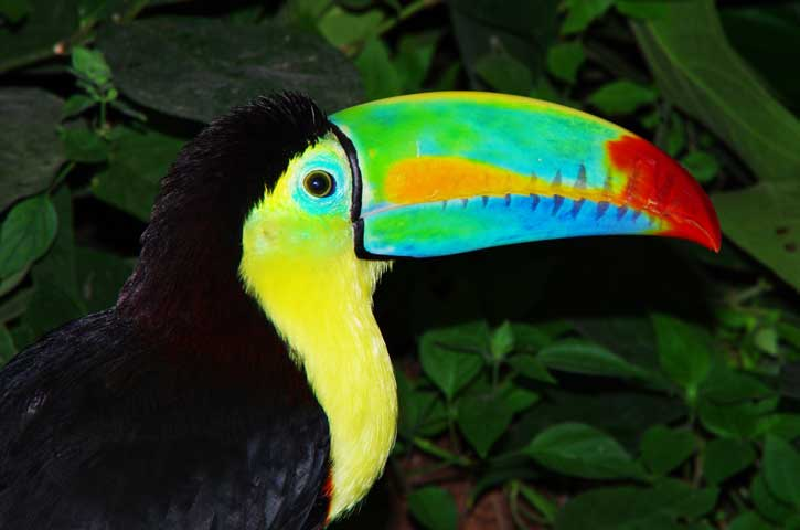 The keel-billed toucan (Ramphastos sulfuratus), also known as sulfur-breasted toucan or rainbow-billed toucan