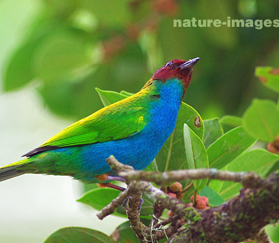 Bay Headed Tanager