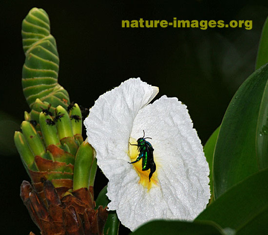 Caña Agria with Insect